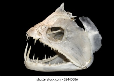 Skull of predatory fish