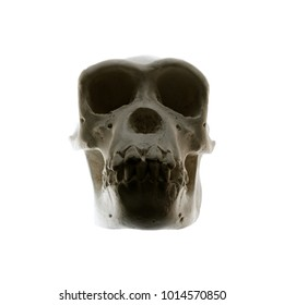 A skull of a Primate