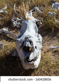 Skull of single large large rhino or rhinoceros that was likely killed for its horn in poaching attack in Matobo National Park in Zimbabwe in Southern Africa