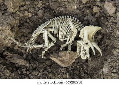 Skull skeleton carcass of dinosaurs Triceratops Dead and extinct on the ground.