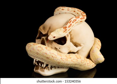 Skull and snake on a black background
