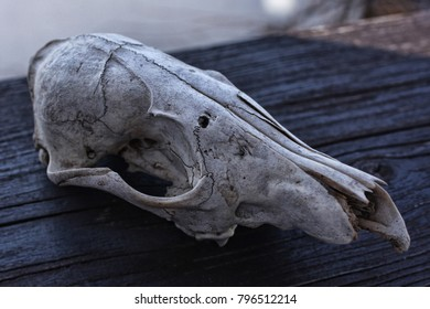 Skull of an unknown animal  Steemit post: https://steemit.com/photography/domacin/skull-of-an-unknown-animal