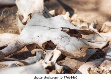 Animal Jaw Bone Images, Stock Photos & Vectors | Shutterstock