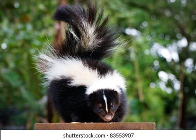 skunk - Skunk Pictures