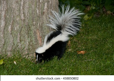 Skunk in Backyard