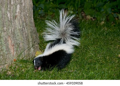 Elegant Skunk In Backyard