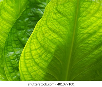 Skunk cabbage in spring