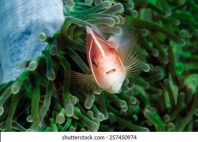 Skunk Clownfish in a green anemone