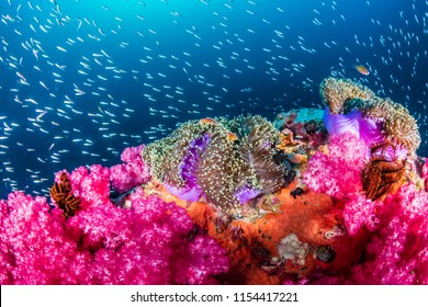 Skunk Clownfish on a beautiful, colorful tropical coral reef