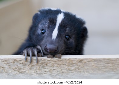 Skunk looks out