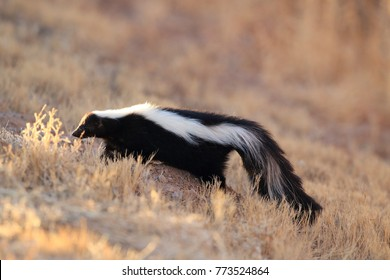 Skunk (Mephitis mephitis) New Mexico