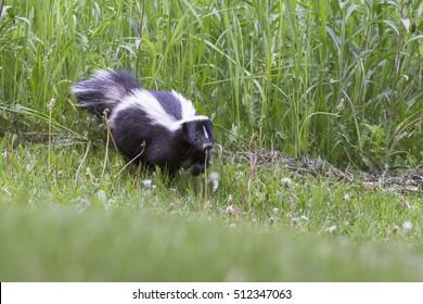 Skunk (Mephitis mephitis) in spring