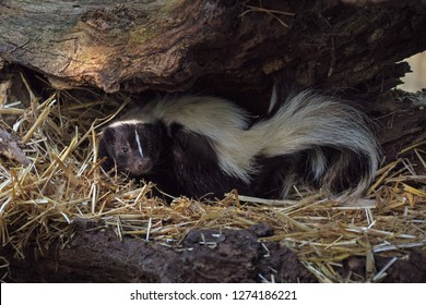 A Skunk In The Nest