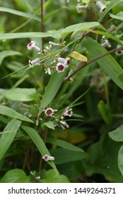 Skunk vine (Paederia scandens) flowers / Skunk vine is also a medicinal plant with a bad smell in its leaves and stems.