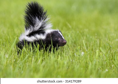 Skunks, Mephitis mephitis, Striped Skunks, Minnesota, USA, cub