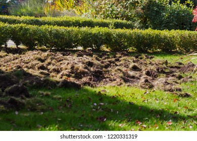 Skunks, racoons, crows destroy lawn to eat chafer grubs; skunks, racoons and crows dig up the lawn to find chafer grubs