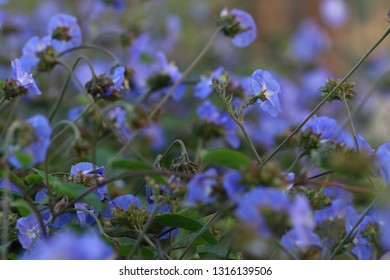 Sky Blue Cluster Vine,Jacquemontia Pentantha,The violet blue flowers of Skyblue Clustervine violacea plant climbers growing on support. They bloom throughout the year
