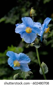 Sky blue flowers of Himalayan blue Tibet Poppy (Meconopsis betonicifolia)