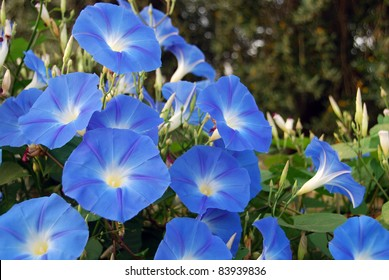 Sky blue morning glory