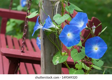 Sky blue morning glory growing alongside an outdoor wooden swing.