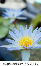 The sky blue water lily