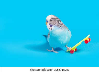 sky blue  wavy parrot with plastic toy skateboard  on color background