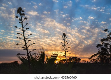 A sky dappled by clouds and a beautiful sunset with yuccas, and aloe vera plants silhouetted in the foreground. Ayamonte, Andalusia, Spain