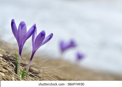 Sky flower, crocus, grass and snow in spring