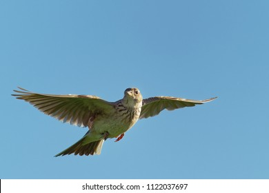 Sky Lark (Alauda arvensis) flying over the field with brown and blue backgrond. Brown bird captured in flight.
