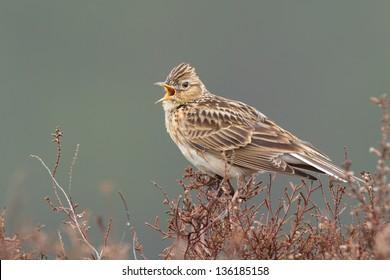 Sky lark (Alauda arvensis) singing on the heather.