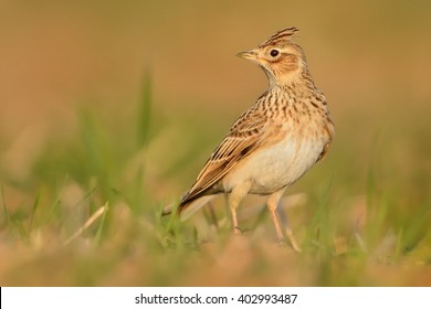 Sky Lark (Alauda arvensis) sitting on the earth enlightened by evening sun. Lark on the field. Brown bird sitting on the brown loam.