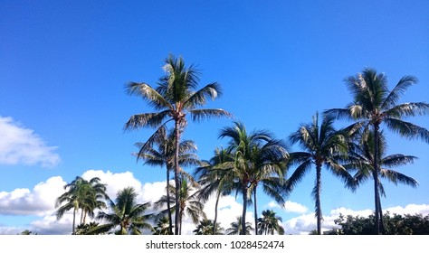 Sky Palm Tree in Hawaii in Tropical Country