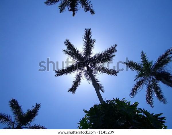 SKY PALMS. Royal Palm Reserve, Negril, west Jamaica, Caribbean