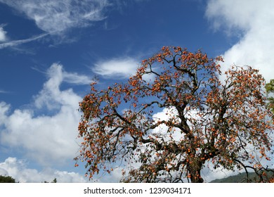 Sky and persimmon tree
