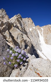 sky pilot or polemonium flowers growing on the side of Mount Humphreys in the Sierra Nevada of California