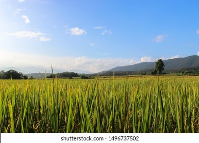 landscape beautiful rice fields with blue sky. Rice fields in the countryside of Chiang Mai are standing for harvest.