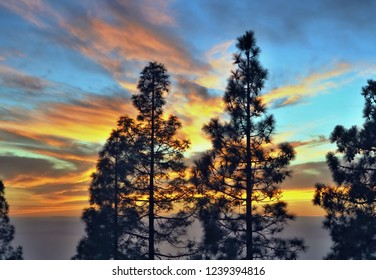 Sky shortly after sunset in bright colors on still blue sky, in the foreground are the black silhouettes of two Canarian pines