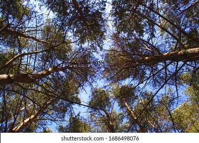 The sky with the tops of the trees. The view from the bottom up. Beautiful nature. Coniferous forest. Russia, Siberia.