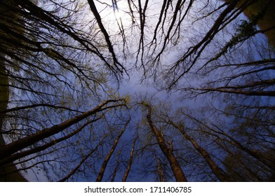 Sky view through fisheye trees. dense tree forest and upward fisheye shot. fisheye tree upward.