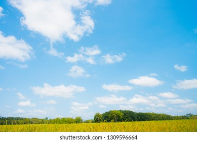 Sky and white clouds and rice fields