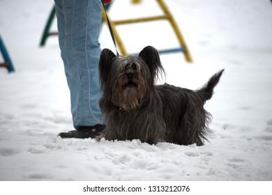 Skye Terrier Images, Stock Photos & Vectors | Shutterstock