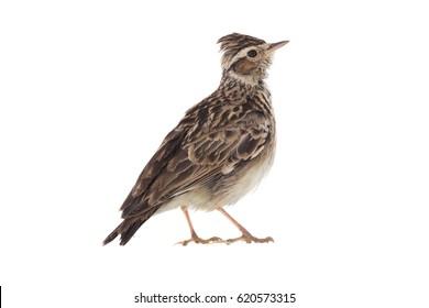 skylark (Alauda arvensis) isolated on a white background