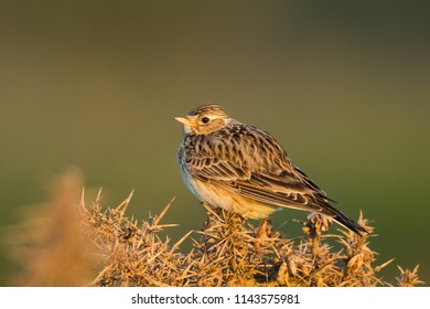 A Skylark (Alauda arvensis) perched on a gorse bush in early morning sunlight, against a blurred natural background, UK