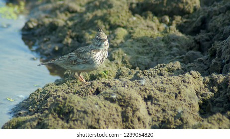 Skylark bird near the water