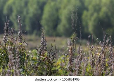 Skylark calling in the meadow