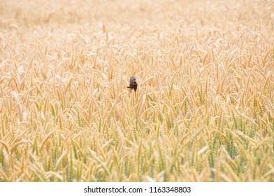 skylark chick in cornfield
