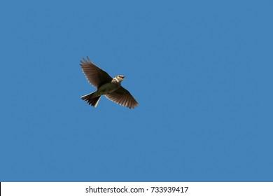 A Skylark or Eurasian Skylark, songbird, Alauda arvensis, singing against clear, blue, sky. UK, Dorset, England.