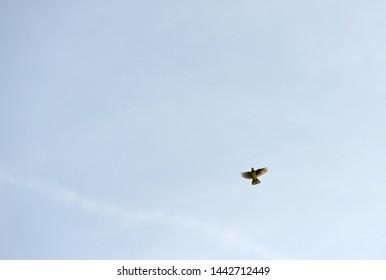 Skylark in flight singing in summer sky