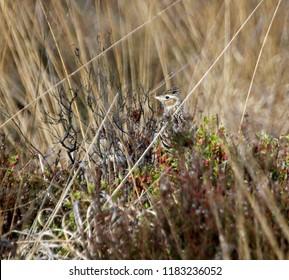 Skylark in heather