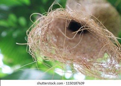 Skylark nests of a few architects in the world's tropical. Nesting birds are exquisitely best as it weaves (Weaver bird).
